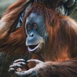 Smarter than the average orangutan
