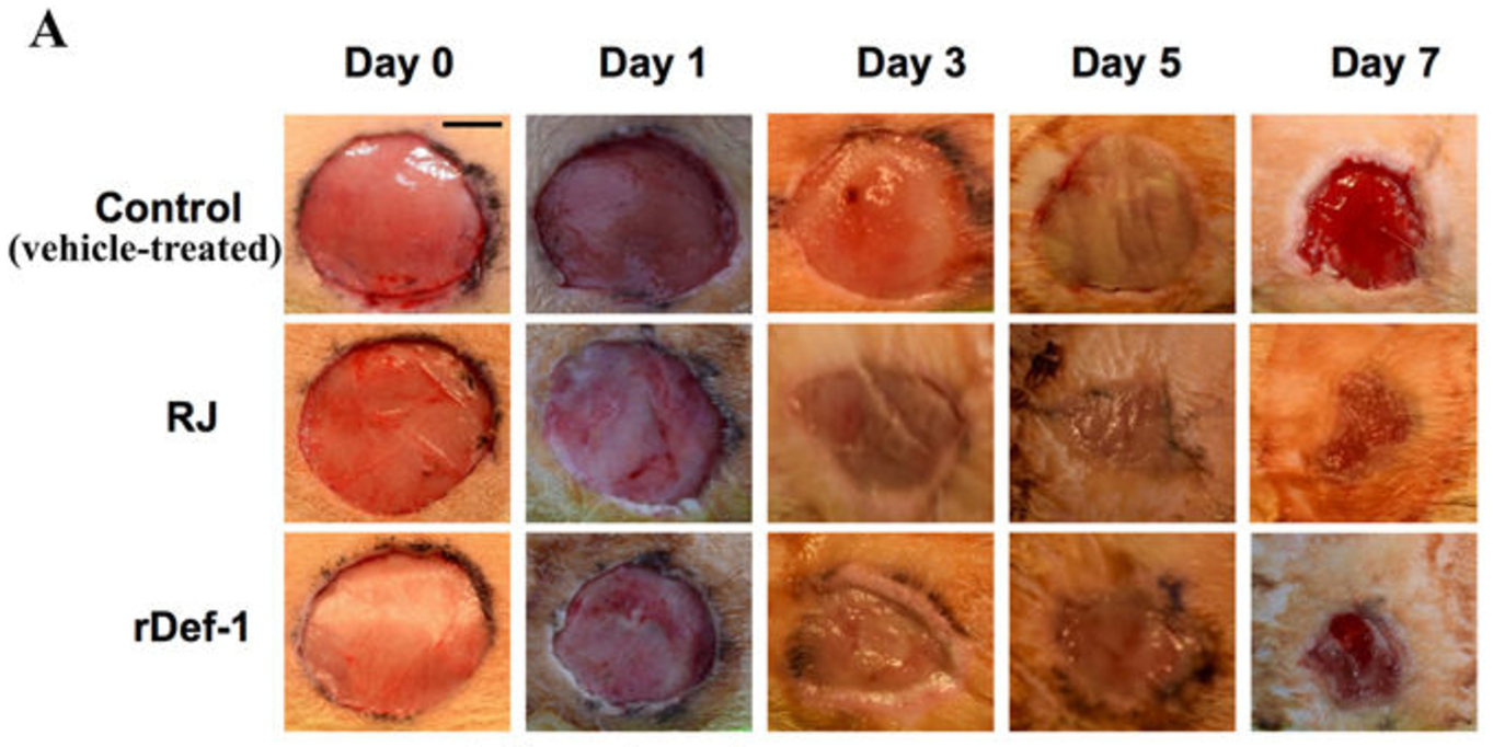 a molecule in bees royal jelly promotes wound healing american