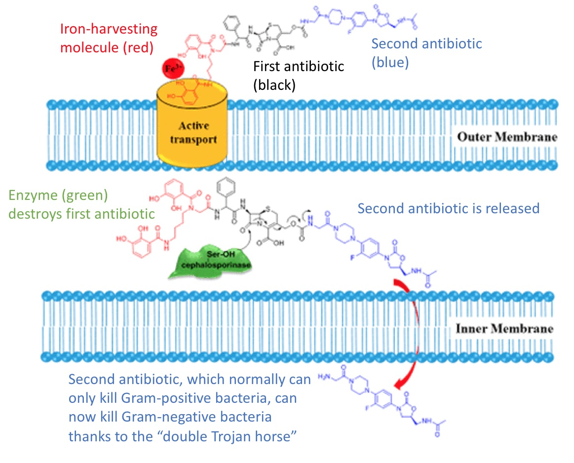 'Double Trojan Horse' Drug Tricks Bacteria into Committing Suicide