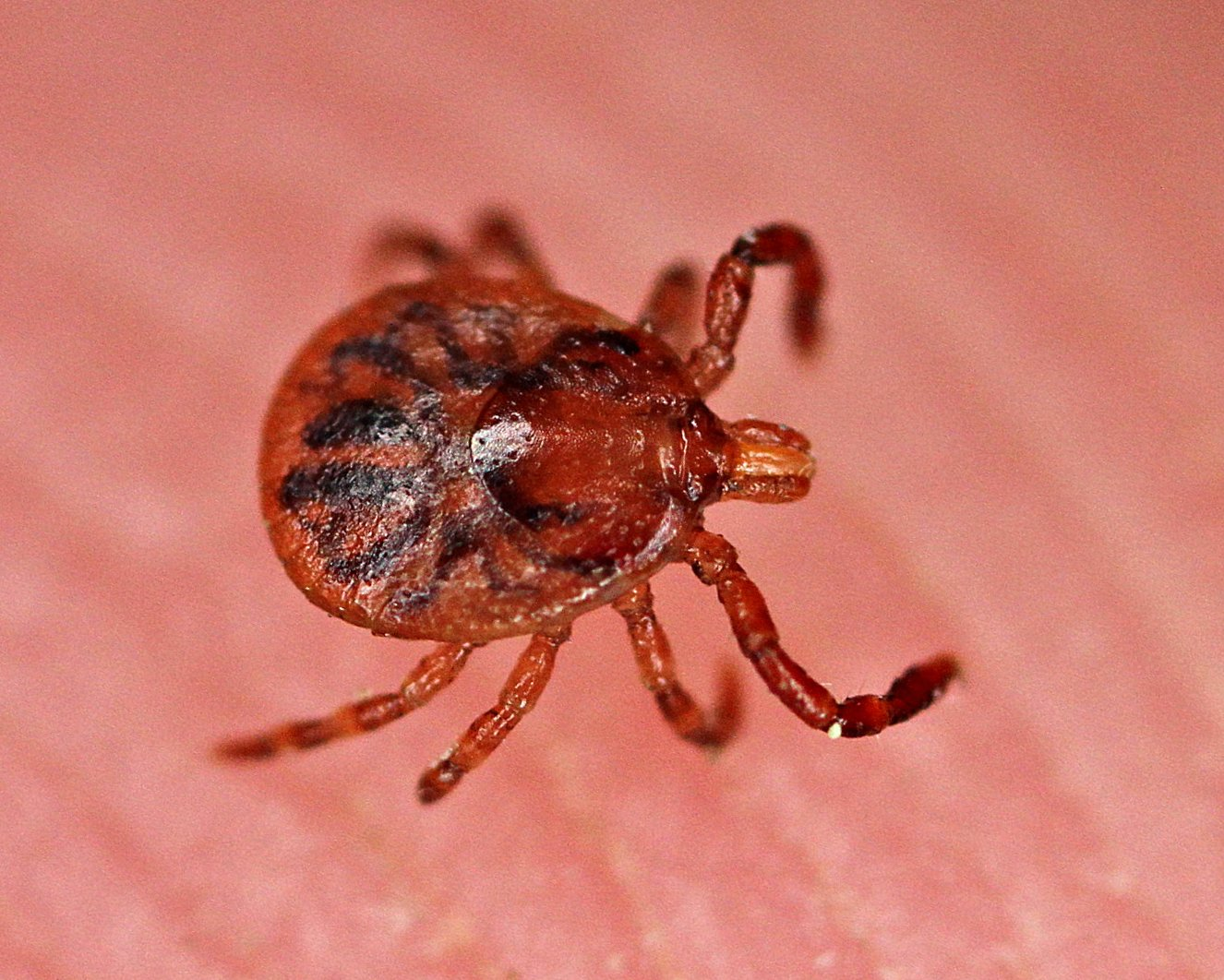 pictures of ticks - 800×641