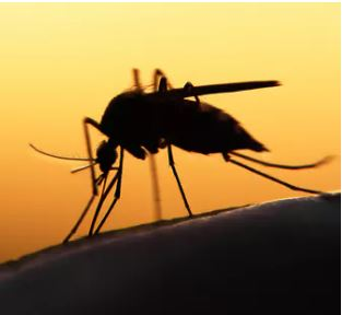 Time To Embrace Genetically Modified Mosquitoes To End Their