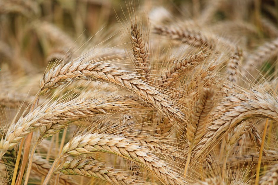 Super CRISPR Wheat | American Council on Science and Health