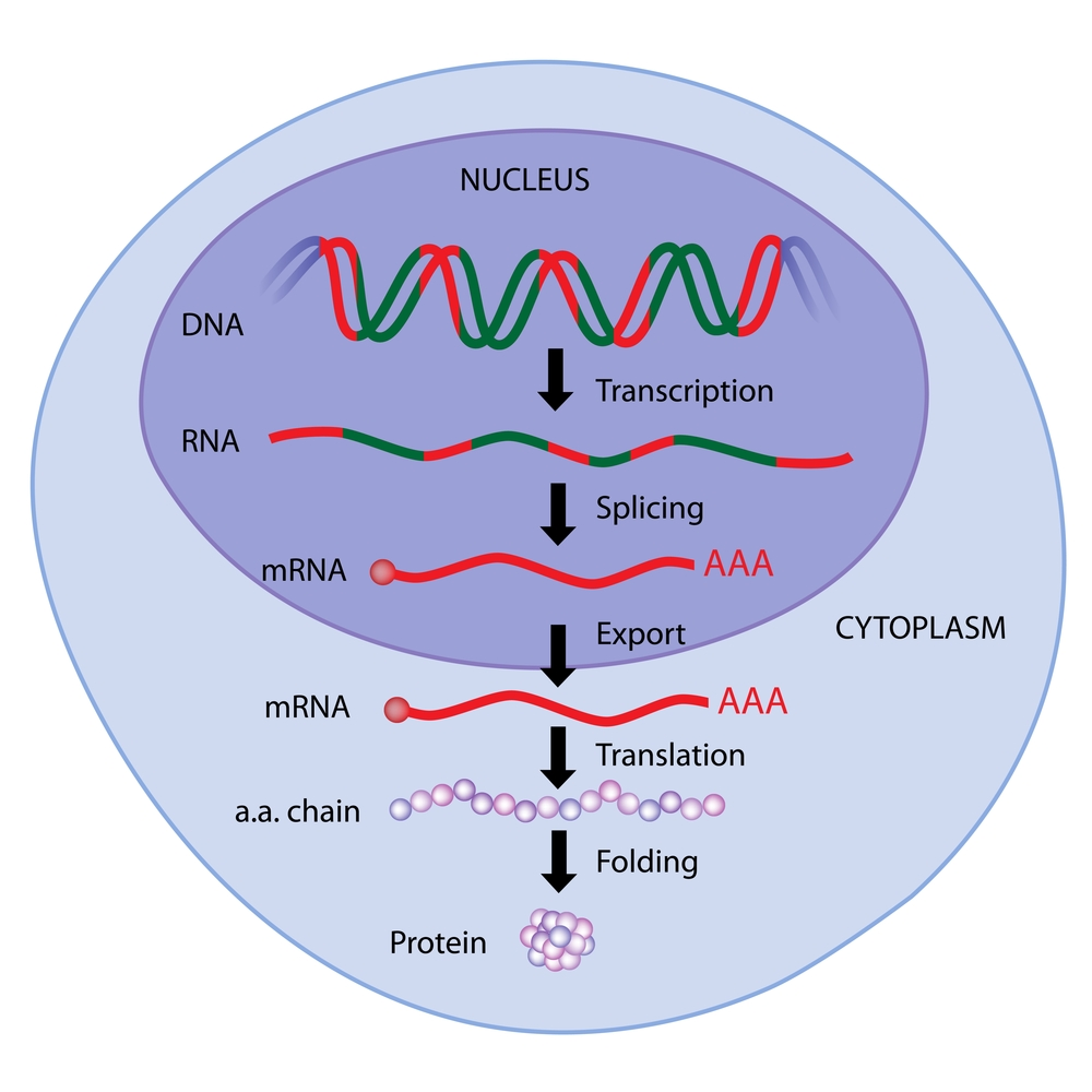 The Central Dogma: How Your DNA Determines Who You Are | American Council  on Science and Health