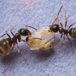The Ants Treat Infections with 'Extreme Prejudice