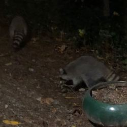 Are Raccoons More Like Dogs or Cats? | American Council on