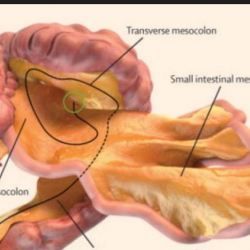 Meet Your New Organ: The Mesentery | American Council on Science and ...