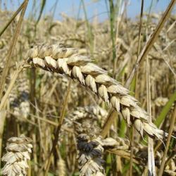 Genetically Engineered Wheat Reduces Need for Fertilizer