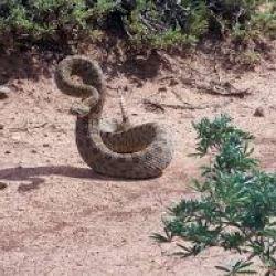 Rattlesnake Pills Worse Than Snake Oil?   American Council