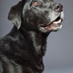 What a gray muzzle may say about your dog american Can a dog tell if another dog is sick