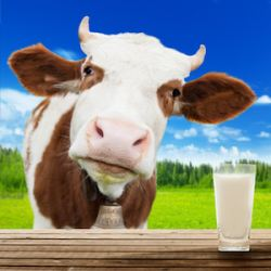 Cow's milk allergies